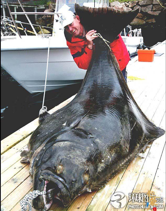 世界上最大比目鱼重达241磅