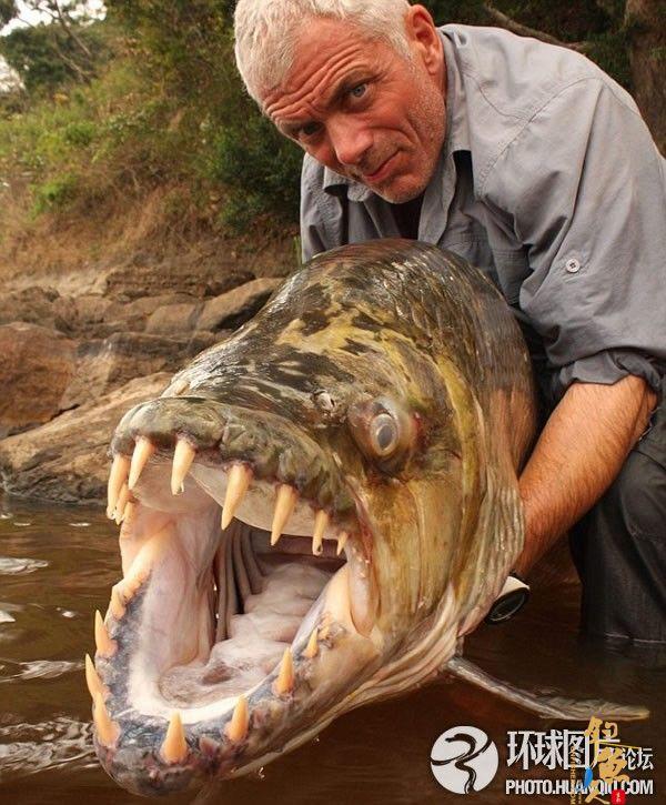 英国人非洲捕获巨型食人鱼斗鳄鱼不落下风