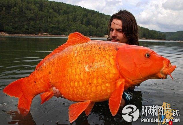 法国男子历时6年捕获重达27斤巨型金鱼