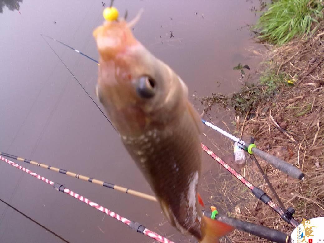 猎渔---约会红鲫 作者:钓过添情