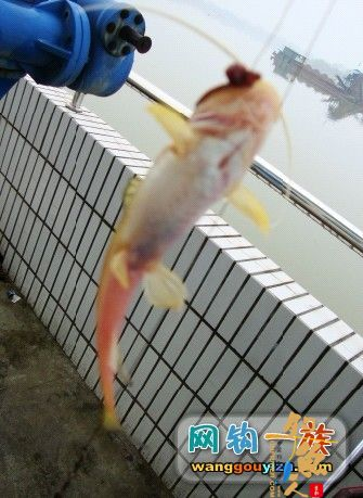 湘江又钓到怪鱼,源于翻板不灵改用串钩