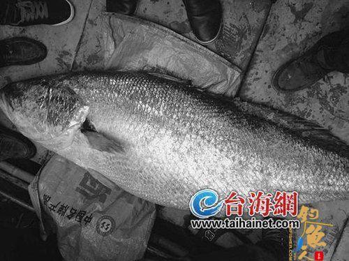 龙海渔民兄弟捕到百斤大鱼 卖了82万元  组图