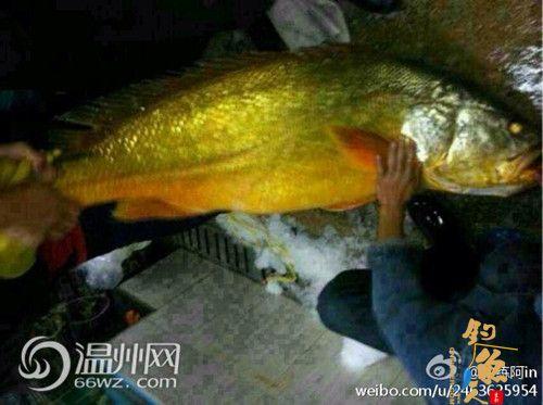 """温州惊现30斤""""黄鱼王"""" 微博称价值60万 图"""