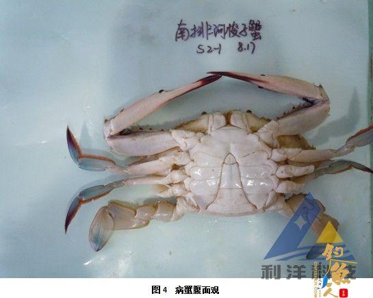 血卵涡鞭虫感染引起三疣梭子蟹死亡一例 全面组图