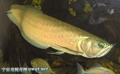 全球十大存活至今的史前怪异鱼类 龙鱼、塞内加尔多鳍鱼组图