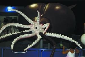世界上最大的鱿鱼 大王酸浆鱿