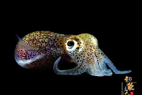 """盘点11种荧光动物:深海怪鱼生气时""""点亮""""全身 夏威夷短尾乌贼 组图"""