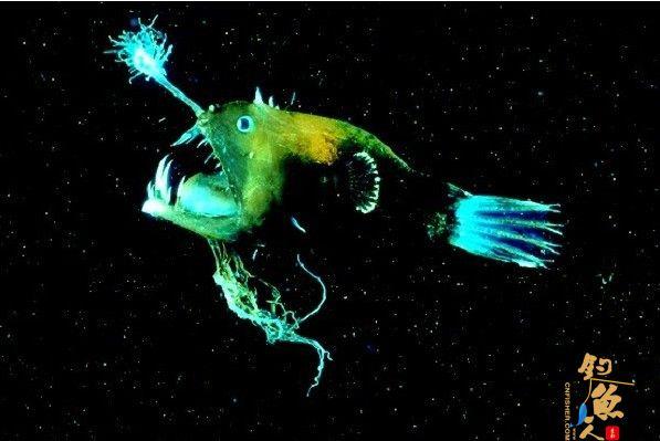 """盘点11种荧光动物:深海怪鱼生气时""""点亮""""全身 鮟鱇鱼 组图"""