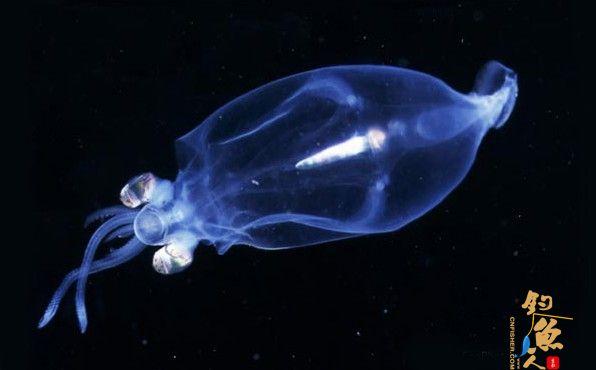 """盘点11种荧光动物:深海怪鱼生气时""""点亮""""全身 小头乌贼 组图"""