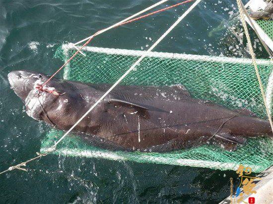 科学家首次在墨西哥湾1828米深捕到北极鲨 组图
