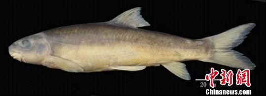 伊洛瓦底江水系发现裂腹鱼新种 图