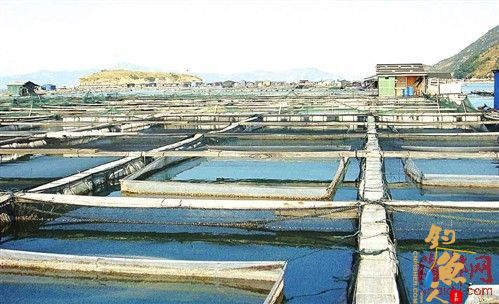 黄鱼也有身份证 大黄鱼产业引入质量追溯体系