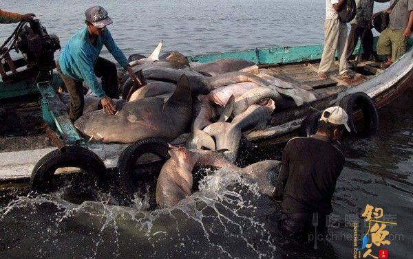 印度尼西亚巴纽旺宜,当地渔民正在进行鲨鱼捕杀工作 血腥程度不忍直视