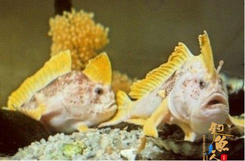 揭秘黄鳍长手鱼 数量很少,过着与世隔绝的生活
