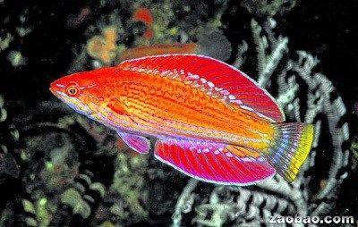 """印尼发现""""闪光""""新鱼种 闪光的濑鱼(flasher wrasse)"""