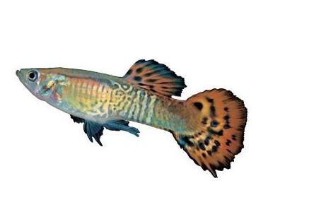 水底小公主 孔雀鱼饲养技巧全攻略