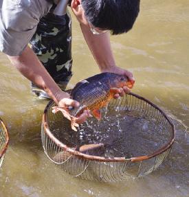 长江第一弯石鼓生态鱼 图