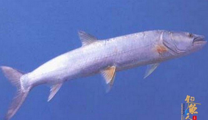 淡水鱼之霸 - 鱤鱼