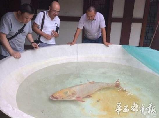 四川绵阳一水库捞起一尾重达68斤罕见金色花鲢 图 稀缺鱼类还是变异?
