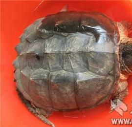"""襄阳市民钓鱼钓起一只""""乌龟""""专家鉴定为外来物种鳄鱼龟(图)不宜放生"""