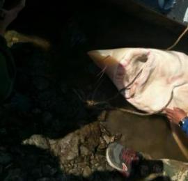 渔民捕获罕见鲟鳇重达450斤 独自钓鱼恐生危险 图