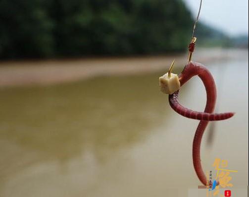 用蚯蚓和红虫钓鱼哪个好 有图有真相的对比