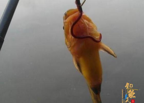 深秋来了,如何垂钓黄颡鱼?