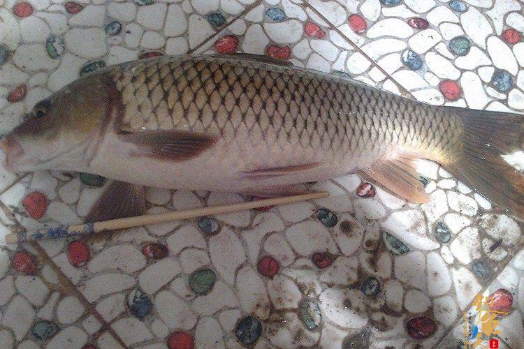 饵料里面加入十三香来钓鱼 鲤鱼疯咬鱼钩