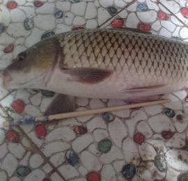 钓鱼饵料里面加入十三香来钓鲤鱼 疯咬钩
