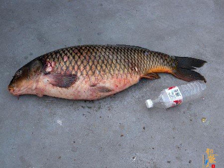 太阳城信誉人用了40分钟成功将一条接近1米长的大鲤鱼溜翻