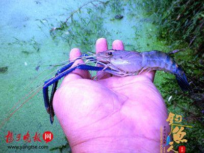 市民钓鱼意外钩上蓝色虾子,疑为基因变异所致