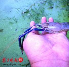 南京市民钓鱼意外钩上蓝色虾子,疑为基因变异所致
