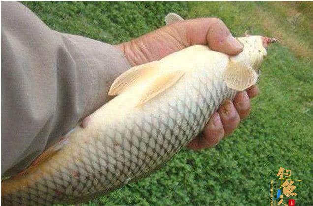 用蚯蚓钓鱼早落伍了,教你怎样用大蒜钓鱼,让你鱼获翻倍满载而归