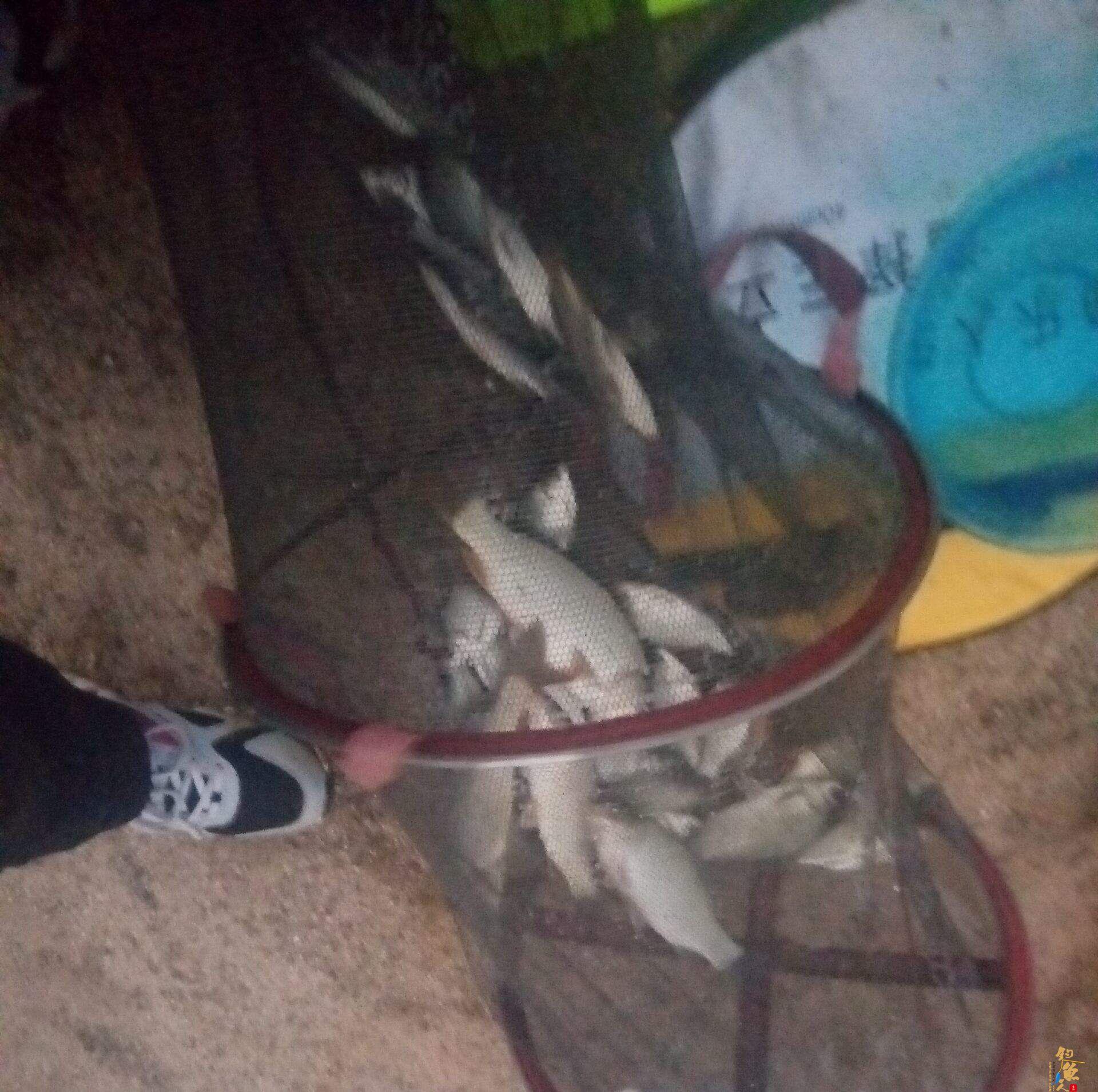 0.8+0.6   4号袖   拔走一副大线   漂也带走了   大鲤鱼跑了