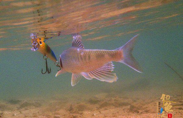 溪流路亚马口鱼的心得技巧