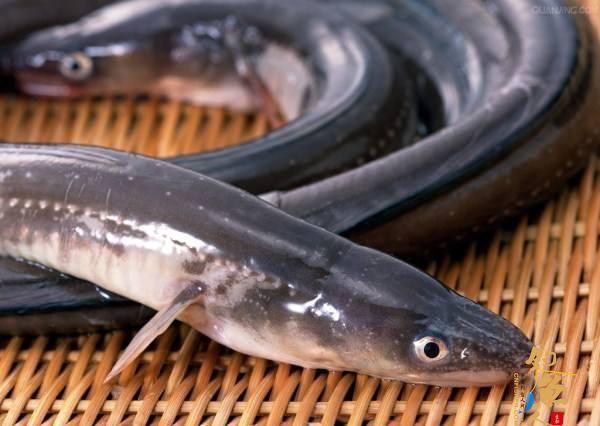 海钓星鳗的细节注意点(也称鳝鱼或者鳗鱼)