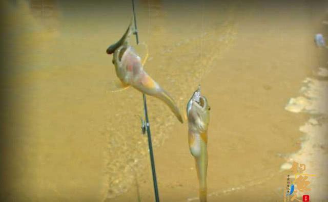 一年一生死的楞巴鱼好吃吗?要如何钓楞巴鱼
