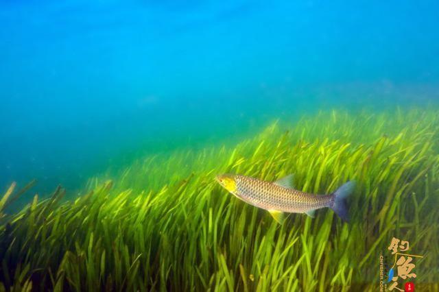 这种鱼近看色泽、体型极似草鱼,赤眼鳟的垂钓技巧