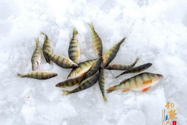 此鱼吃食凶猛,适合冰钓,成鱼最大才2斤,路亚鲈鱼