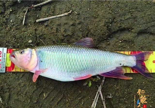 路亚马口鱼最全技巧,时间标点线组技巧