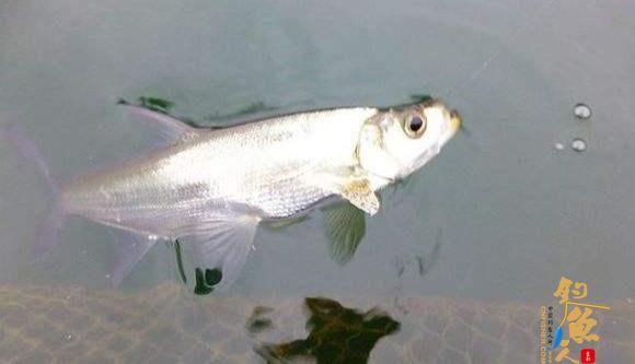 鱼类的残暴程度有多大?随意捕杀同类,六亲不认,动态图