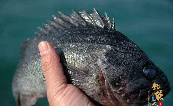 黑头鱼的习性是什么?最有效率黑头鱼的钓法